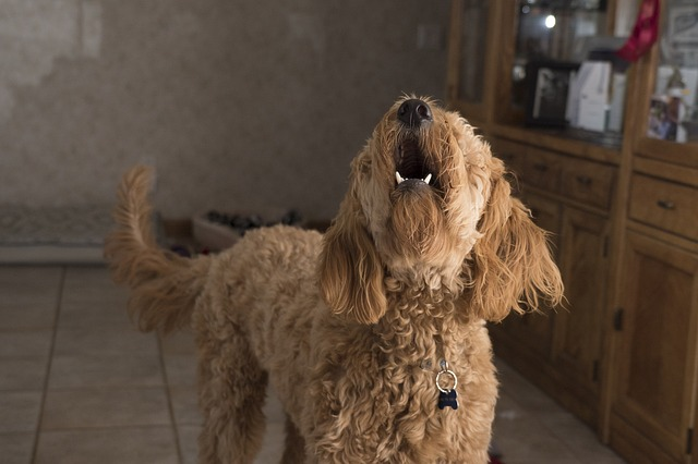 W jakim wieku psy zaczynają szczekać?